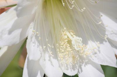 Blattkaktus (Epiphyllum) Blüte