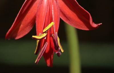 Jakobslilie (Sprekelia formosissima)