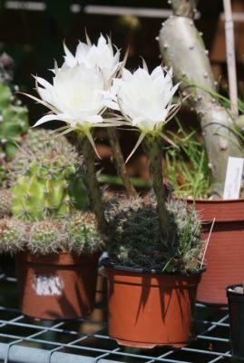 Lobivia Hybride mit Blüten