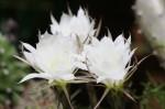 Lobivia Hybride Blüten
