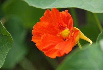 Kapuzinerkresse (Tropaeolum majus) orange