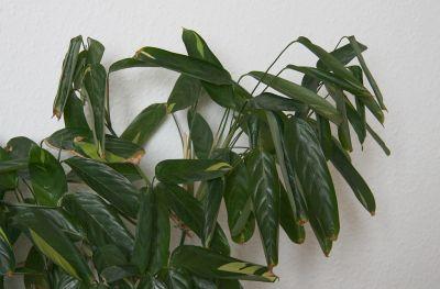 Eingerollte Blätter bei Thripse-Befall