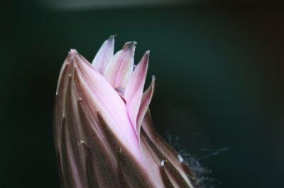 Echinopsis Hybride Knospe