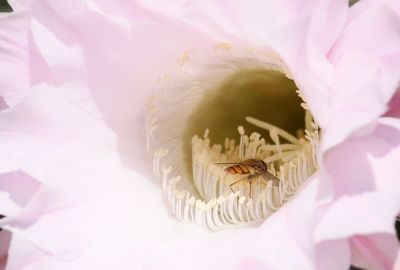Echinopsis Hybride Blüte