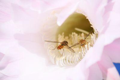 Hainschwebfliege (Episyrphus balteatus)