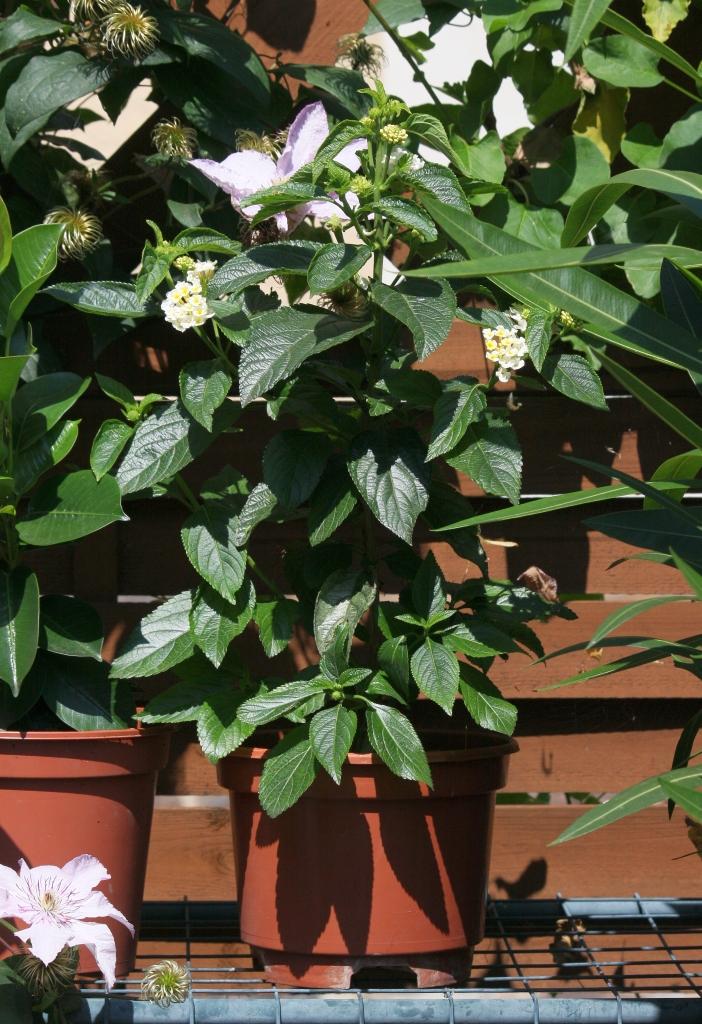 schmucklilie mandevilla und wandelr schen majas pflanzenblog. Black Bedroom Furniture Sets. Home Design Ideas
