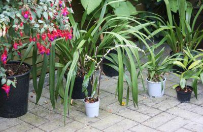 Cymbidium, Dendrobium & andere