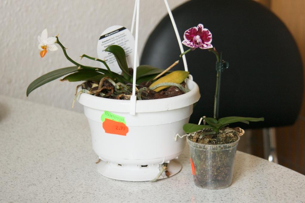 zwei neue orchideen zum p ppeln majas pflanzenblog. Black Bedroom Furniture Sets. Home Design Ideas