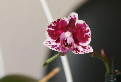 Mini-Orchidee mit Flecken