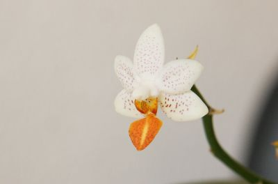 Mini-Mark-Orchidee