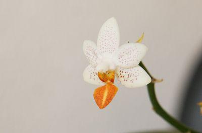 Mini-Mark-Orchidee