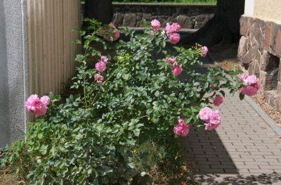 Rosenstrauch in Blüte