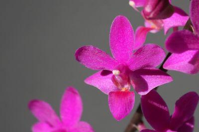 Doritaenopsis Pentel Gem