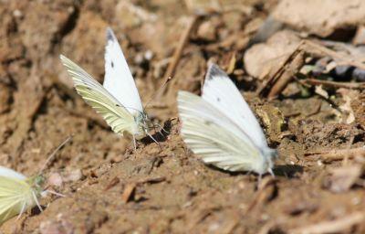 Kleiner Kohlweißling (Pieris rapae)