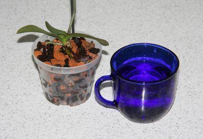 Mini-Phalaenopsis tauchen