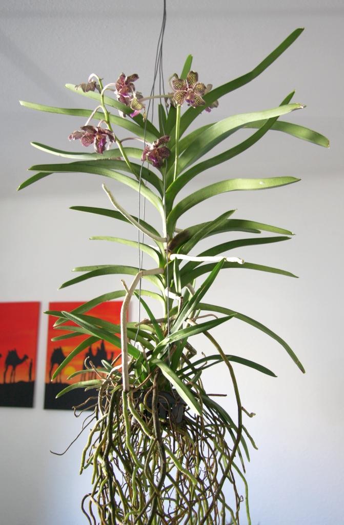vanda orchidee mit stammf ule majas pflanzenblog. Black Bedroom Furniture Sets. Home Design Ideas