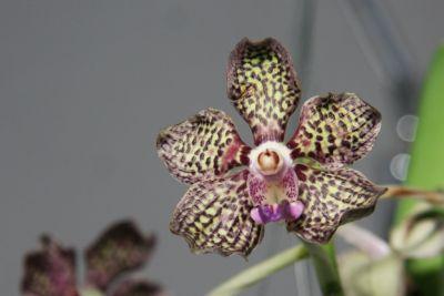 Vanda Mimi Palmer x merillii
