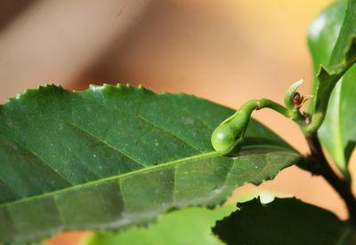 Grüner Tee (Camellia sinensis) Knospe