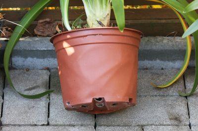 Schmucklilie (Agapanthus africanus) Wurzeln