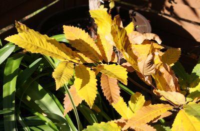 Herbstlaub der Edelkastanie (Castanea sativa)