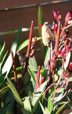 Oleander (Nerium oleander) Samenkapseln