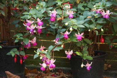 Fuchsie (Fuchsia) rosa/pink