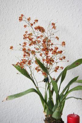 Onicidum Tiny Twinkle orange