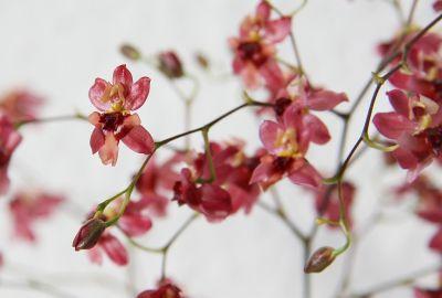 Onicidum Tiny Twinkle rosa