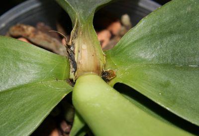 Fäule an Phalaenopsis-Orchidee
