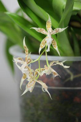 Odontoglossum crocidipterum