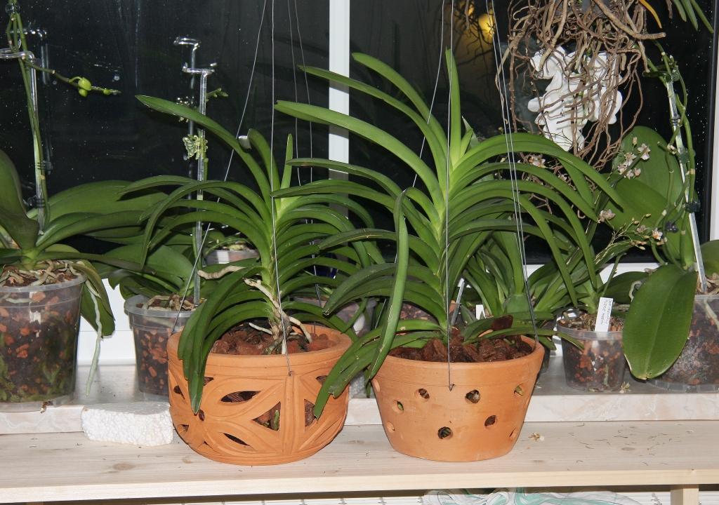 vanda orchideen in tont pfe umtopfen majas pflanzenblog. Black Bedroom Furniture Sets. Home Design Ideas