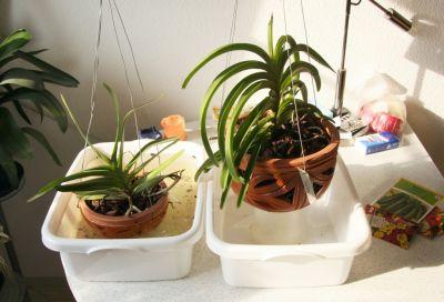 Phalaenopsis tauchen