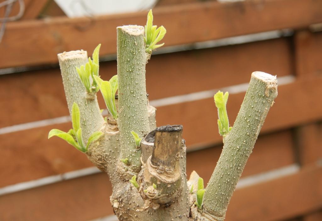 welche pflanzen haben gut berwintert kleiner rundblick majas pflanzenblog. Black Bedroom Furniture Sets. Home Design Ideas