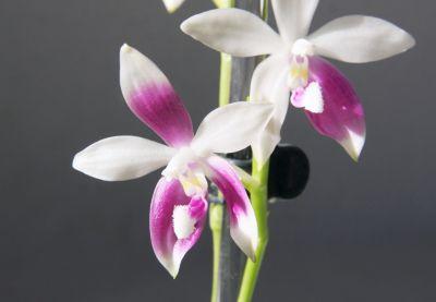 Phalaenopsis speciosa C1