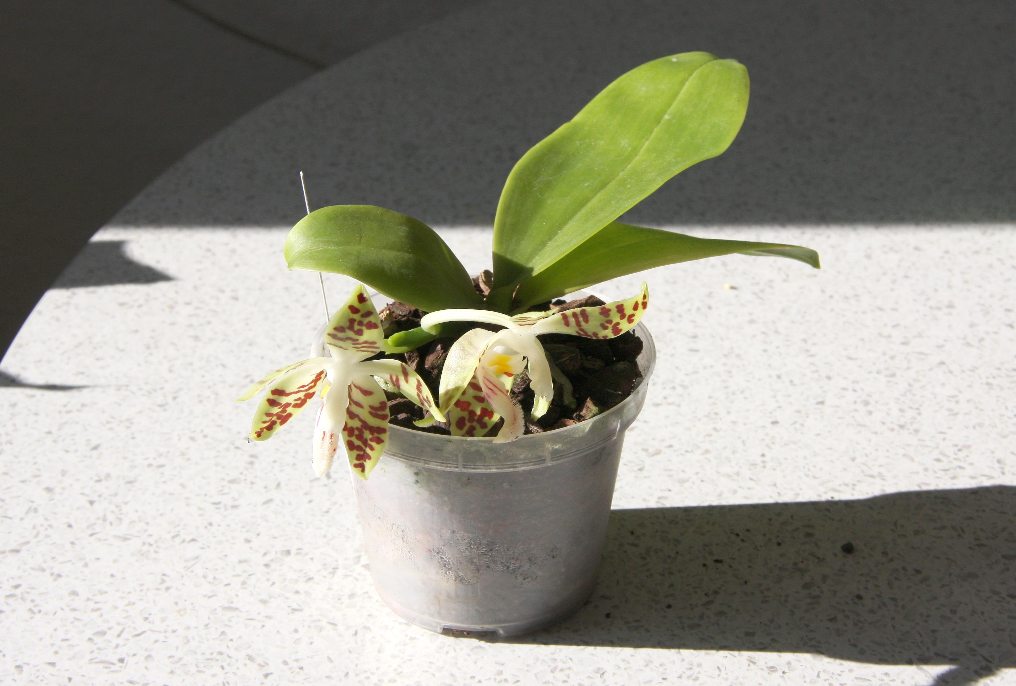 Phalaenopsis sumatrana mit bl ten majas pflanzenblog - Pflegeleichte zimmerpflanzen mit bluten ...