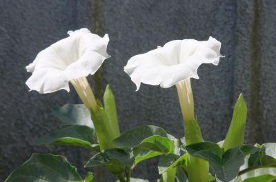 Stechapfel (Datura innoxia)