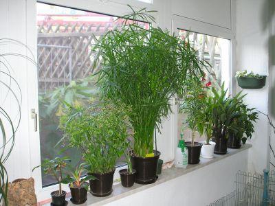 Zyperngras drei Jahre alt (Cyperus alternifolius)