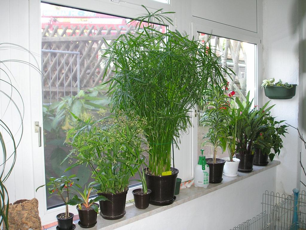zyperngras cyperus alternifolius majas pflanzenblog