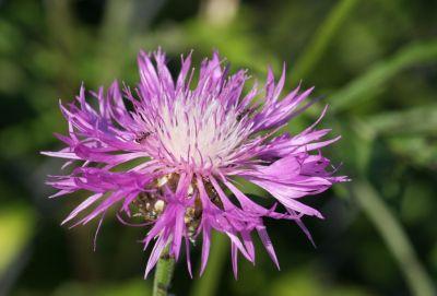 Kaukasische Flockenblume (Centaurea dealbata)