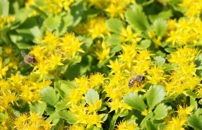 Fetthenne (Sedum kamtschaticum 'Weihenstephaner Gold')