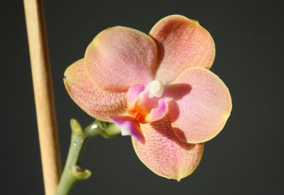 Phalaenopsis Mini-Hybride orange