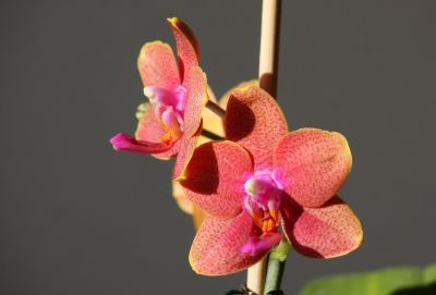 Phalaenopsis Mini-Hybride orange/rot