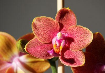 Phalaenopsis Mini-Hybride orange/rot