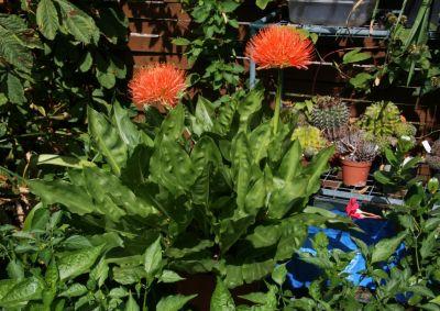 Blutblume (Scadoxus multiflorus)