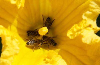 Bienen an Kürbisblüte