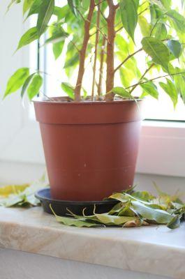 Blattfall beim Ficus