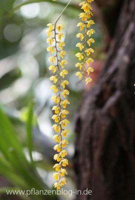 Dendrochilum spec. gelb
