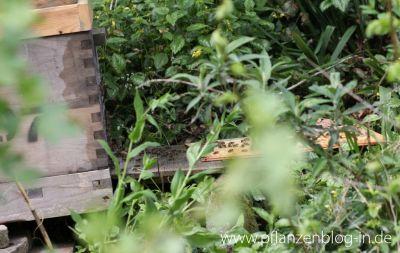 Einlaufende Bienen in Dadantbeute