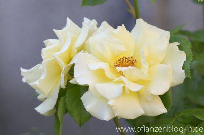 Rose 'Lichtkönigin Lucia'
