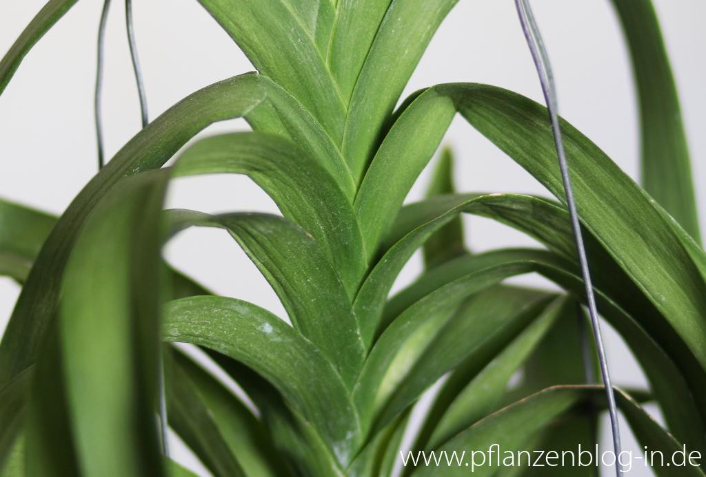 zu wenig wasser majas pflanzenblog